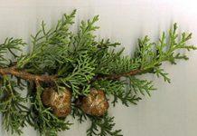 Herbarium - Čempres