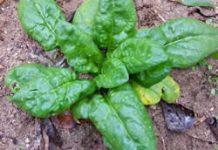 Herbarium - Špinat
