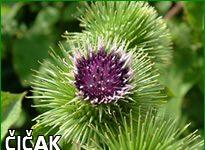Herbarium - Čičak