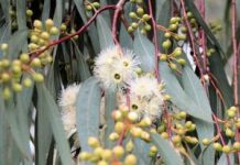 Herbarium - Eukaliptus