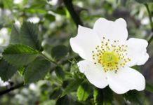 Herbarium – Glog bijeli