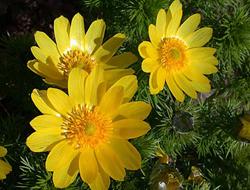 Herbarium - Gorocvijet