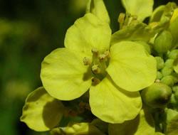 Herbarium – Gorušica crna