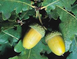 Herbarium – Hrast lužnjak