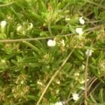 Iva trava