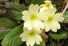 Herbarium - Jaglac