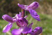 Herbarium – Kaćun obični