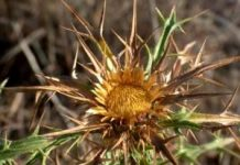 Herbarium - Kravljak