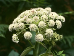 Herbarium - Kravojac