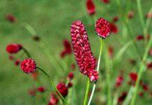 Herbarium - Krvara