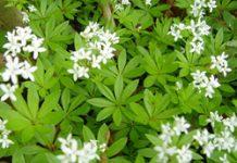 Herbarium – Lazarkinja mirisna