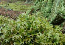 Herbarium – Lišaj islandski