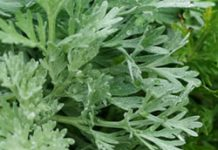 Herbarium - Pelin vrtni