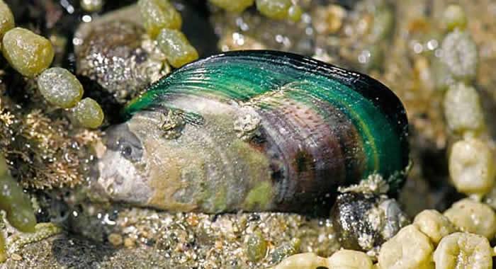 zelenousna školjka