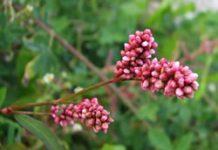 Herbarium - Praskvinac