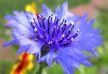 Herbarium - Različak