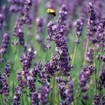 Terapija aromatičnim biljem moze pomoći oboljelima od raka
