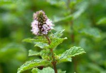 Herbarium - Metvica paprena