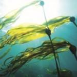 I morske alge su ljekovito bilje