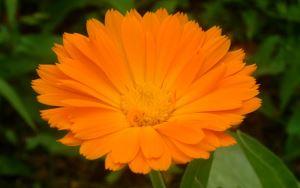 neven - cvijet