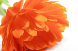 Cvijet nevena