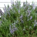 Ružmarin – biljka za sjećanje