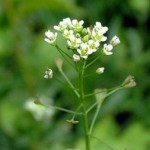 Rusomača – Ljekovita svojstva biljke