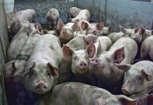 svinje za zdravlje ljudi