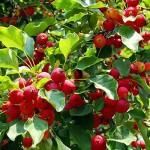 Medvjeđe grožđe – Uva
