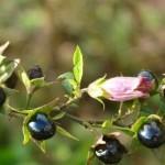 biljni otrovi