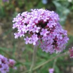 verbena-officinalis