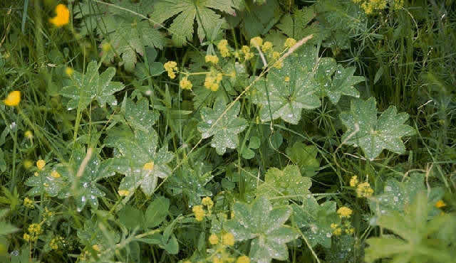 virak  -  Alchemilla vulgaris