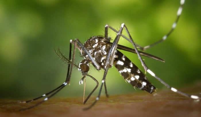 Zašto ubod komarca svrbi - Tigrasti komarac
