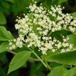 Ljekovita svojstva biljke zova