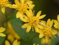 Herbarium - čelebi grana