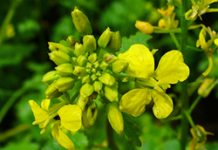Herbarium – Gorušica bijela