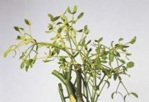 Herbarium - Imela