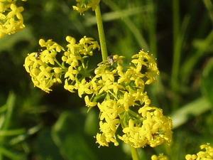 Herbarium – Ivanjsko cvijeće