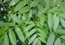 Herbarium – Jasen bijeli