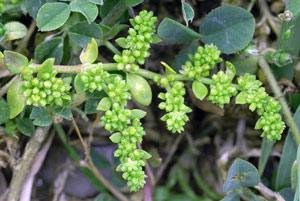 Herbarium - Kilavica