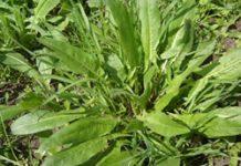 Herbarium - Kiselica