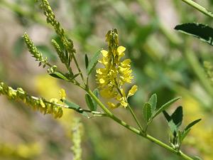 Herbarium - Kokotač