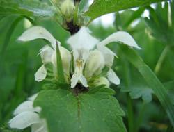 Herbarium – Kopriva bijela