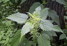 Herbarium – Kopriva velika