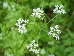 Herbarium - Krasuljica