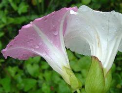 Herbarium – Ladolež ili Slak