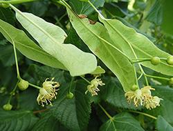 Herbarium - Lipa