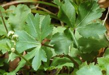 Herbarium - Lječura