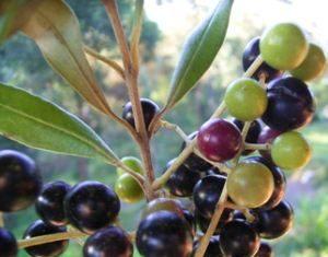 Herbarium - Maslina