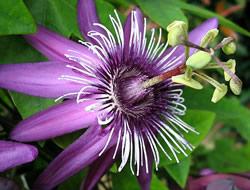 Herbarium - Pasiflora